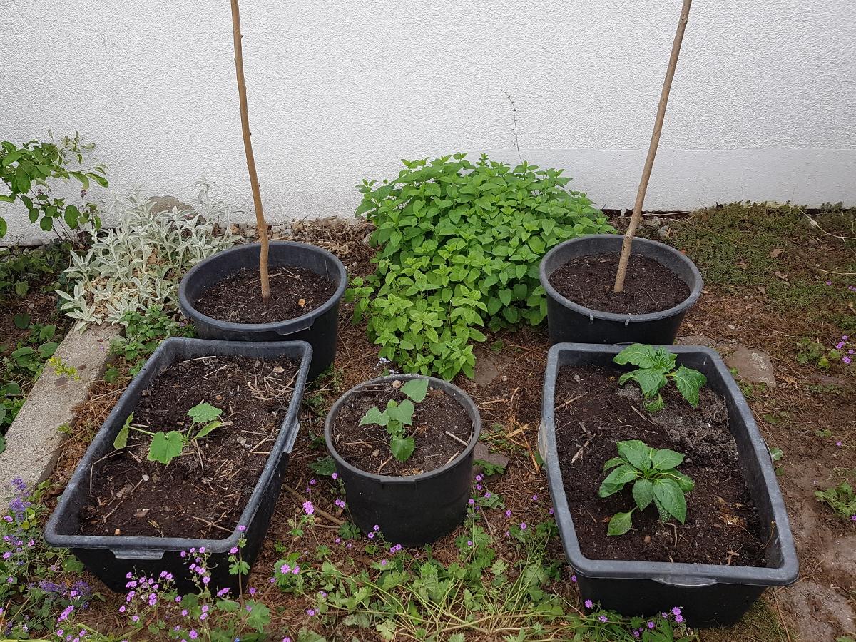 Hinten Stangenbohnen vorne von rechts nach links: Zucchini, Süßkartoffel, Paprika