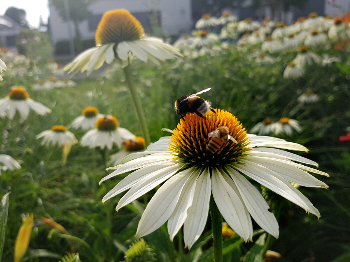 Echinaceesn sind der Hit bei Hummeln und Bienen