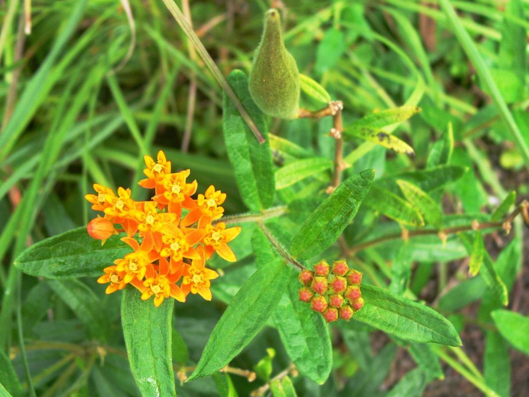 Asclepias tuberosa - Knollige Seidenpflanze