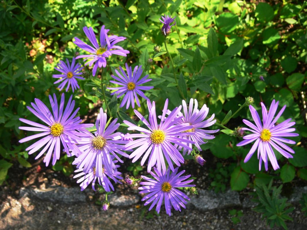 Aster thomsonii - Thomsons Aster