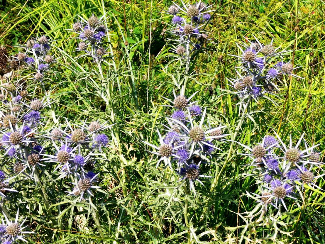 Eryngium amethystinum - Amethyst Mannstreu