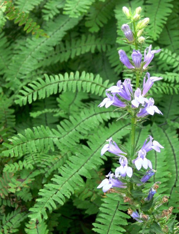 Lobelia siphylitica - Blaue Lobelie