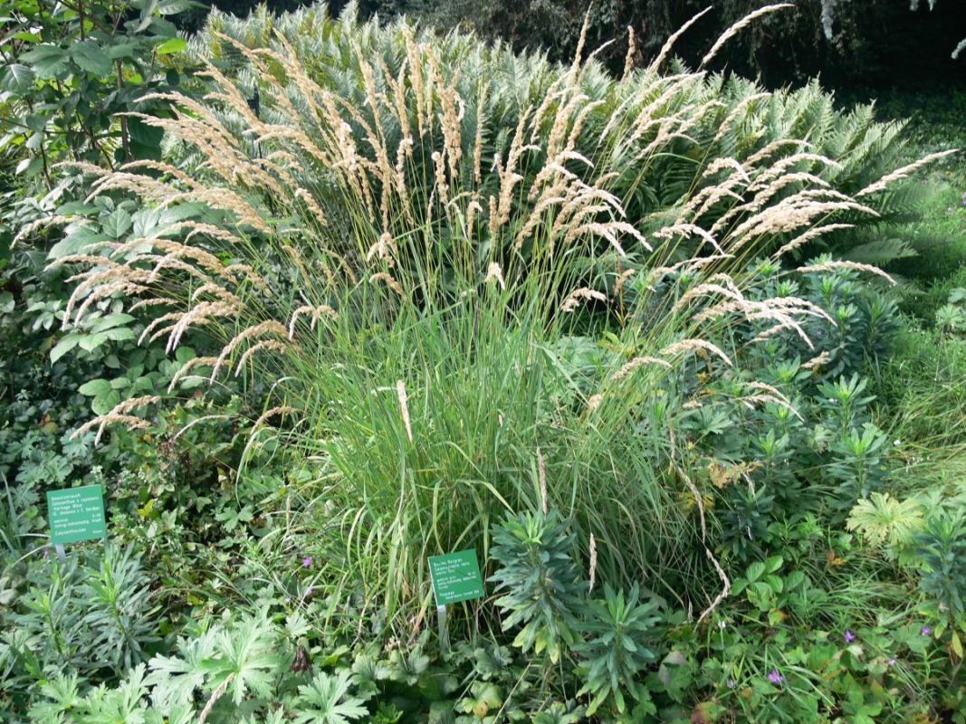 Calamagrostis varia -  Buntes Reitgras
