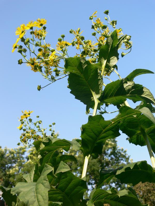 Silphium perfoliatum - Verwachsenblättrige Becherpflanze