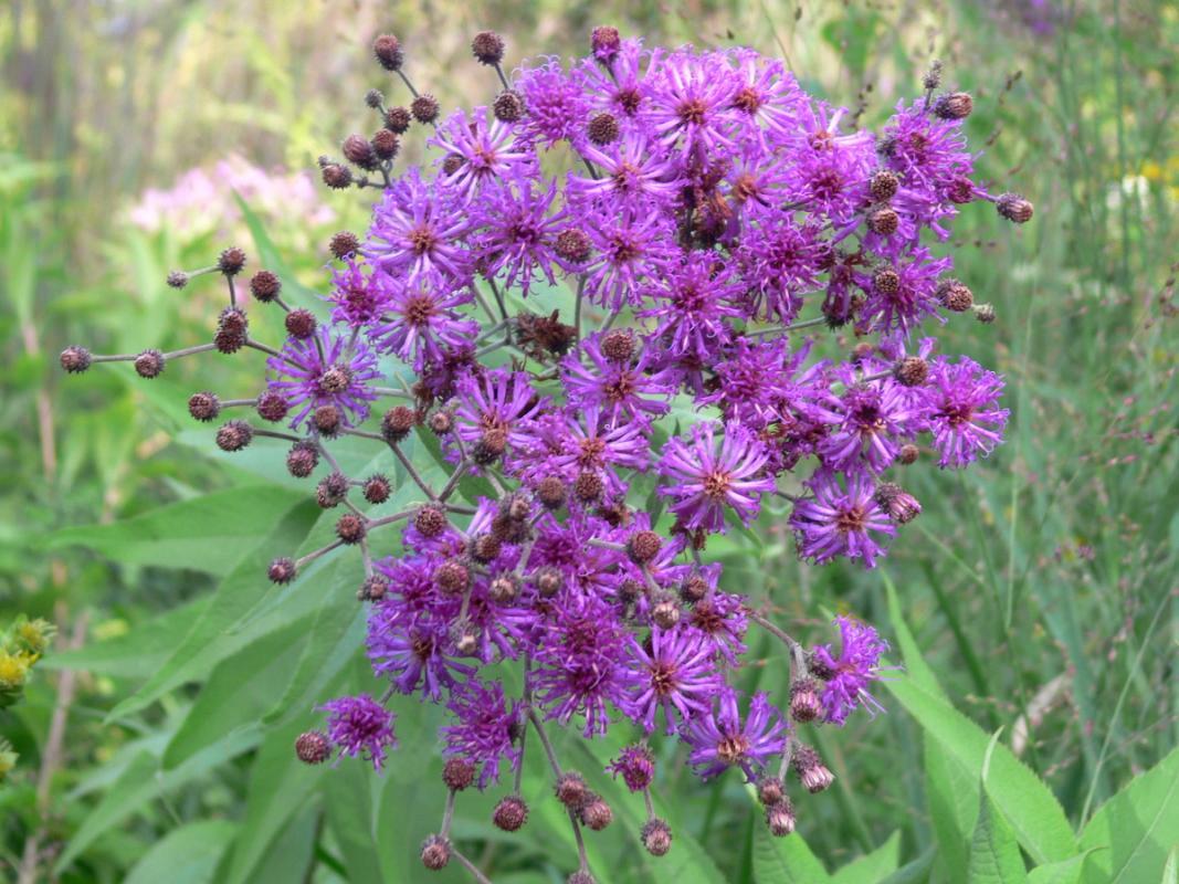 Vernonia noveboracensis - Scheinaster